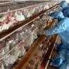 Bird flu outbreaks causing alarm across Asia, Europe