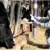 Foot-and-mouth disease alert status in South Korea raised to highest level