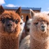 Alpacas present a potential cure for cancer