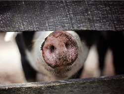 Swine fever emergency in Vietnam, over 1mn pigs culled