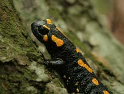 Salamander-like cartilage regrowth in humans could guide osteoarthritis treatment